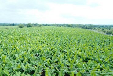 top cavendish banana suppliers in India